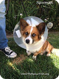Corgi/Welsh Corgi Mix Dog for adoption in Studio City, California - Newman