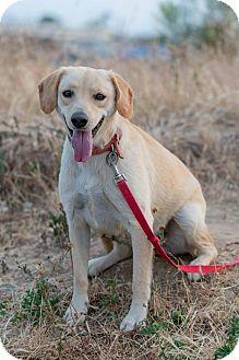Labrador Retriever Mix Dog for adoption in Pasadena, California - VIDA