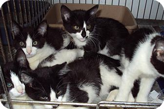 Domestic Shorthair Kitten for adoption in Mt. Vernon, Illinois - 5 kittens