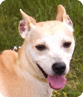 Basenji/Terrier (Unknown Type, Medium) Mix Dog for adoption in Maquoketa, Iowa - Buttercup