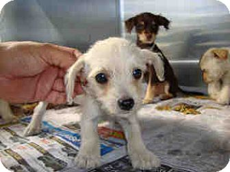 Terrier (Unknown Type, Medium)/Chihuahua Mix Puppy for adoption in Fullerton, California - Elaines Pet Depot