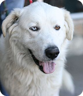 Great Pyrenees Mix Dog for adoption in Canoga Park, California - Odin