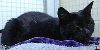 Domestic Shorthair Cat for adoption in Mission, British Columbia - Kimmy
