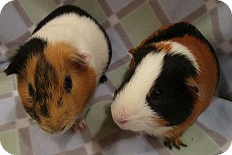Guinea Pig for adoption in Highland, Indiana - Wiggly