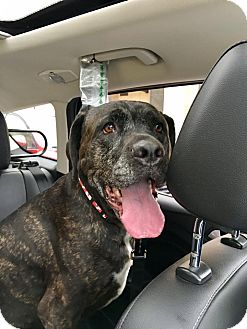 Mastiff Mix Dog for adoption in Baltimore, Maryland - Brooklyn