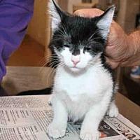 Domestic Mediumhair Kitten for adoption in Aurora, Illinois - TUFFY