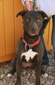 American Pit Bull Terrier/Labrador Retriever Mix Dog for adoption in Rio Rancho, New Mexico - Korda