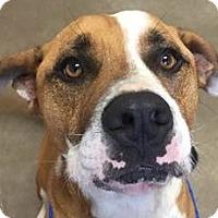 Adopt A Pet :: Fitz - Springdale, AR