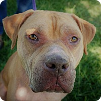 Adopt A Pet :: Big Handsome - Friendswood, TX