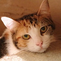 Calico Cat for adoption in Hartselle, Alabama - Hissy Pissy