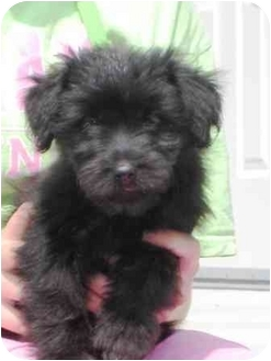Terrier (Unknown Type, Small) Mix Puppy for adoption in Florence, Indiana - Brie