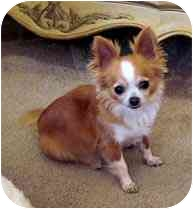 Chihuahua Dog for adoption in San Diego, California - Penny