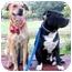 Photo 2 - Chesapeake Bay Retriever/Retriever (Unknown Type) Mix Dog for adoption in Marina del Rey, California - Minnie