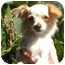 Photo 4 - Chihuahua Puppy for adoption in Poway, California - Teddy