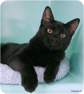 Domestic Shorthair Kitten for adoption in Phoenix, Oregon - Zeva