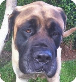 English Mastiff Dog for adoption in north hollywood, California - Little
