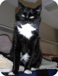Domestic Shorthair Cat for adoption in Maple Ridge, British Columbia - Whiskey