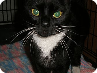 Domestic Shorthair Cat for adoption in Cheektowaga, New York - Pepe