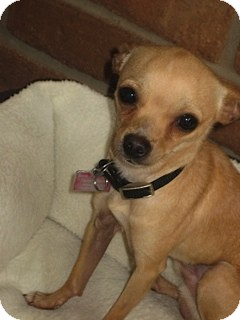 Chihuahua Dog for adoption in San Diego, California - Ace