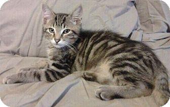 Domestic Shorthair Kitten for adoption in Byron Center, Michigan - Titan