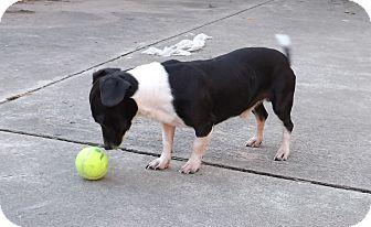 Dachshund Mix Dog for adoption in Houston, Texas - Tyko