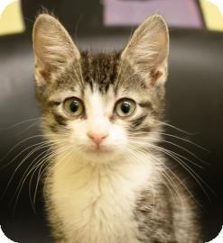 Domestic Shorthair Kitten for adoption in West Des Moines, Iowa - Ivan