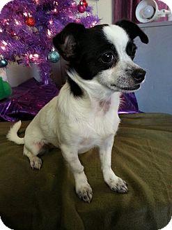 Chihuahua/Rat Terrier Mix Puppy for adoption in Urbana, Ohio - Petunia
