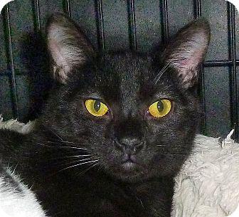 Domestic Shorthair Cat for adoption in Carmel, New York - Cutie Pie