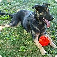 Adopt A Pet :: Cayo - Shepherd pup - Toronto/Etobicoke/GTA, ON