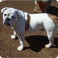 Adopt A Pet :: Bear - Winder, GA