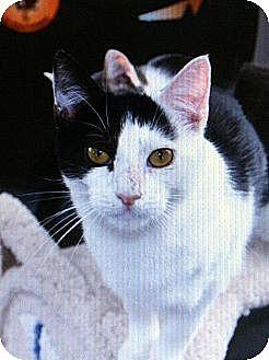 Domestic Shorthair Cat for adoption in Binghamton, New York - Oreo