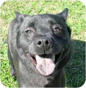 Australian Cattle Dog/Labrador Retriever Mix Dog for adoption in Cincinnati, Ohio - Cole