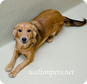 Spaniel (Unknown Type)/Corgi Mix Dog for adoption in Monroe, Georgia - TAMMY