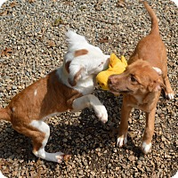 Adopt A Pet :: Levi -chestnut color - Marshfield, MA