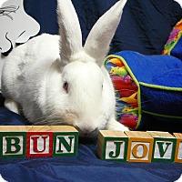 Adopt A Pet :: Bun Jovi - Newport, DE