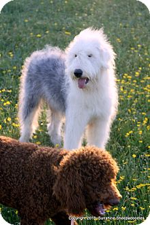 Old English Sheepdog Dog for adoption in Weatherford, Texas - *Charlie*