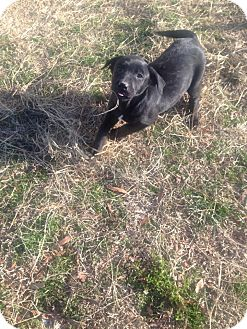 Labrador Retriever Mix Puppy for adoption in East Hartford, Connecticut - Bella meet me 1/17
