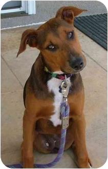 Doberman Pinscher/Foxhound Mix Puppy for adoption in West Los Angeles, California - Maggie