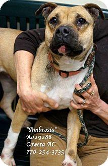 American Bulldog/German Shepherd Dog Mix Dog for adoption in Newnan City, Georgia - Ambrosia
