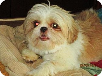 Shih Tzu Dog for adoption in Tallahassee, Florida - Darcy - ADOPTED