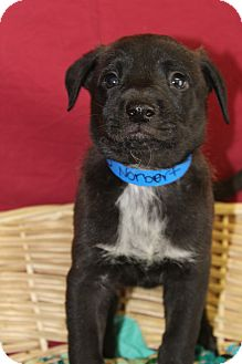 Shepherd (Unknown Type) Mix Puppy for adoption in Waldorf, Maryland - Norbert