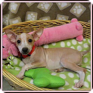 Xoloitzcuintle/Mexican Hairless/Chihuahua Mix Dog for adoption in Glendale, Arizona - Daisy