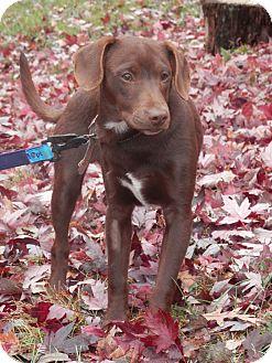 "Labrador Retriever/Doberman Pinscher Mix Puppy for adoption in Huntsville, Missouri - Dee""O""Gee"