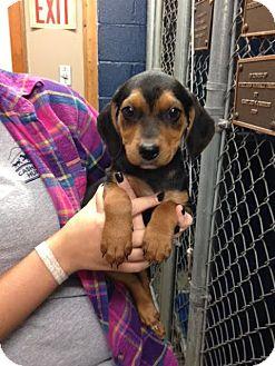 Hound (Unknown Type)/Mastiff Mix Puppy for adoption in Cashiers, North Carolina - Taylor