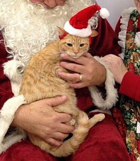Domestic Shorthair Cat for adoption in Walnut Creek, California - Ozzie