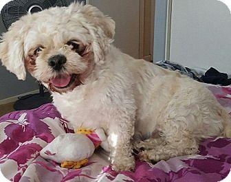 Shih Tzu/Pekingese Mix Dog for adoption in Henderson, Nevada - Sophie