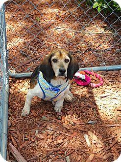 Beagle Mix Dog for adoption in Alexis, North Carolina - Kent