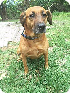 Retriever (Unknown Type) Mix Dog for adoption in Boca Raton, Florida - Rosie