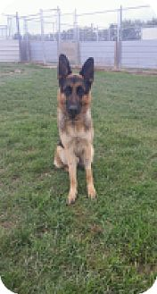 German Shepherd Dog Dog for adoption in High River, Alberta - MacKenzie