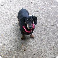 Adopt A Pet :: Queenie - West Bloomfield, MI